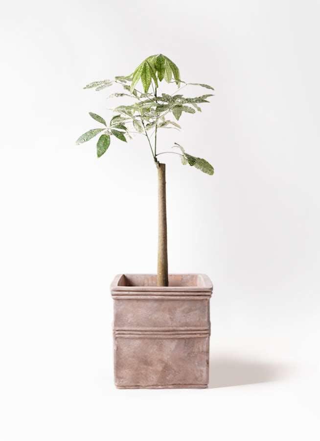 観葉植物 パキラ 8号 朴 斑入り テラアストラ カペラキュビ 赤茶色 付き