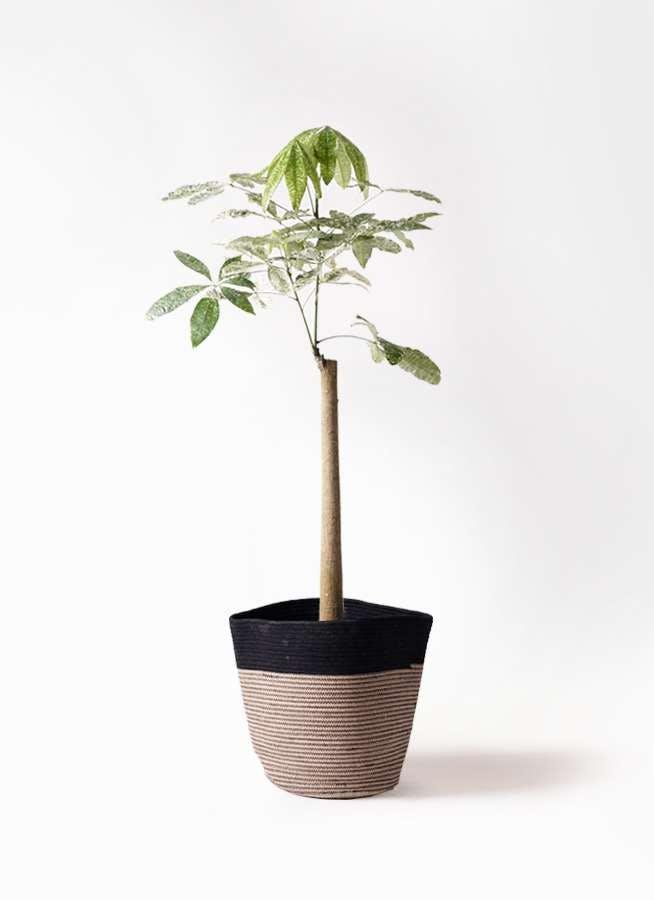 観葉植物 パキラ 8号 朴 斑入り リブバスケットNatural and Black 付き