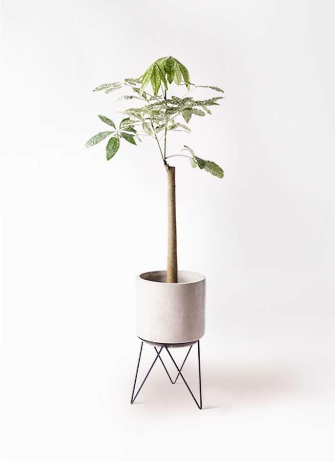 観葉植物 パキラ 8号 朴 斑入り ビトロ エンデカ クリーム アイアンポットスタンド ブラック 付き