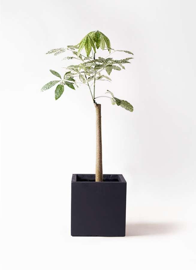 観葉植物 パキラ 8号 朴 斑入り ベータ キューブプランター 黒 付き