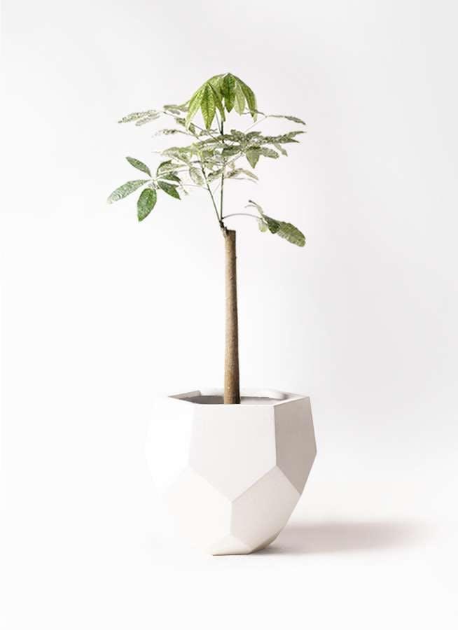 観葉植物 パキラ 8号 朴 斑入り ポリゴヘクサ 白 付き