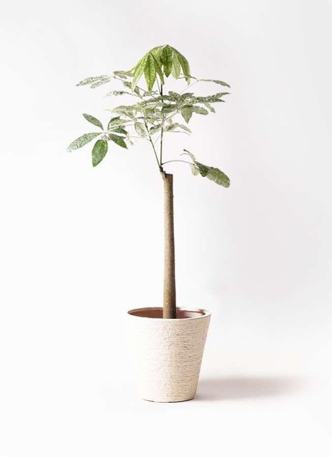 観葉植物 パキラ 8号 朴 斑入り ビアスソリッド 白 付き