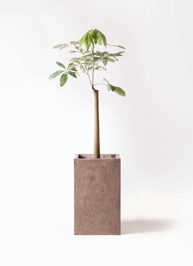 観葉植物 パキラ 8号 朴 斑入り セドナロング グレイ 付き