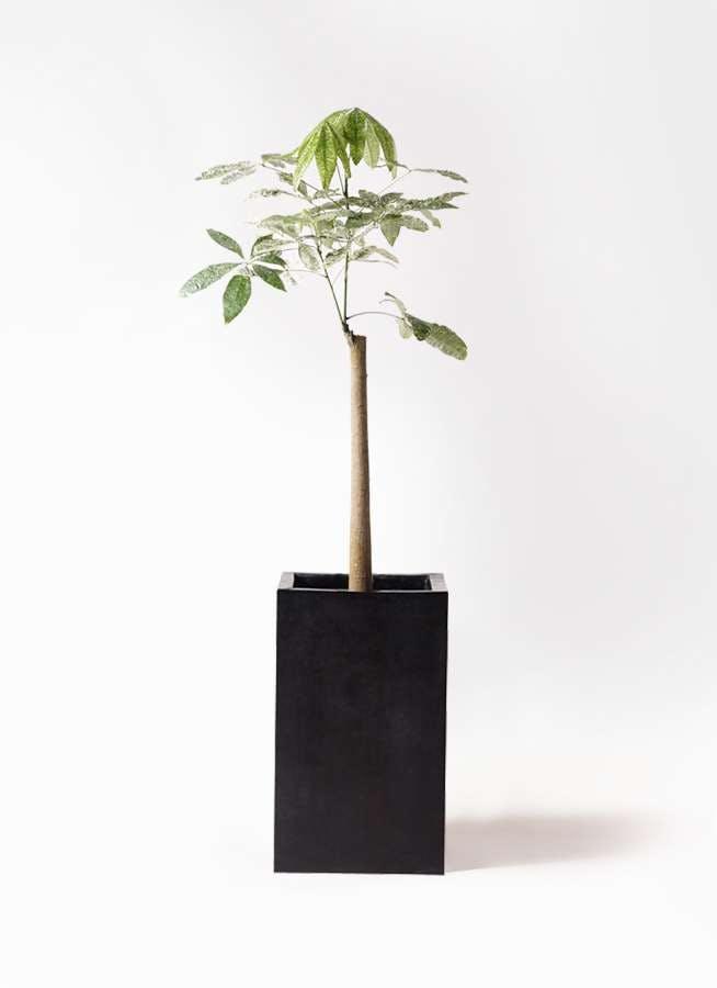 観葉植物 パキラ 8号 朴 斑入り セドナロング 墨 付き