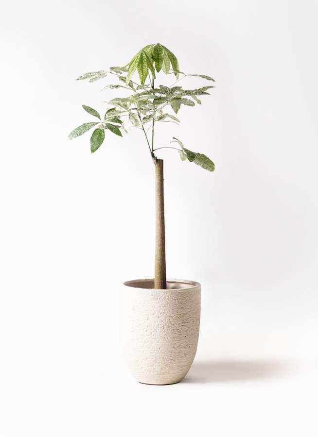 観葉植物 パキラ 8号 朴 斑入り ビアスアルトエッグ 白 付き