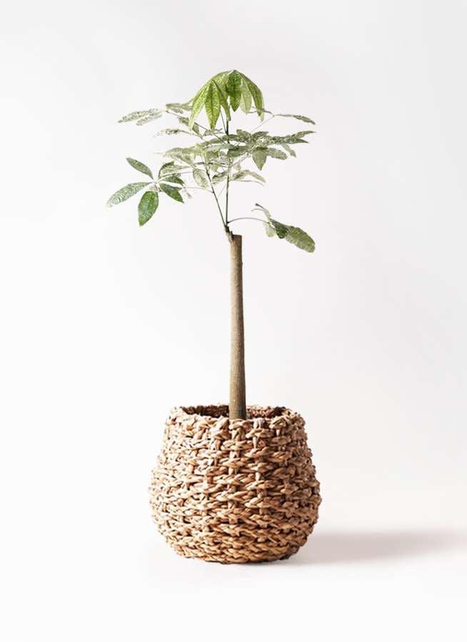 観葉植物 パキラ 8号 朴 斑入り ラッシュバスケット Natural 付き