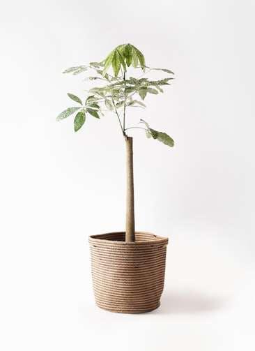 観葉植物 パキラ 8号 朴 斑入り リブバスケットNatural 付き