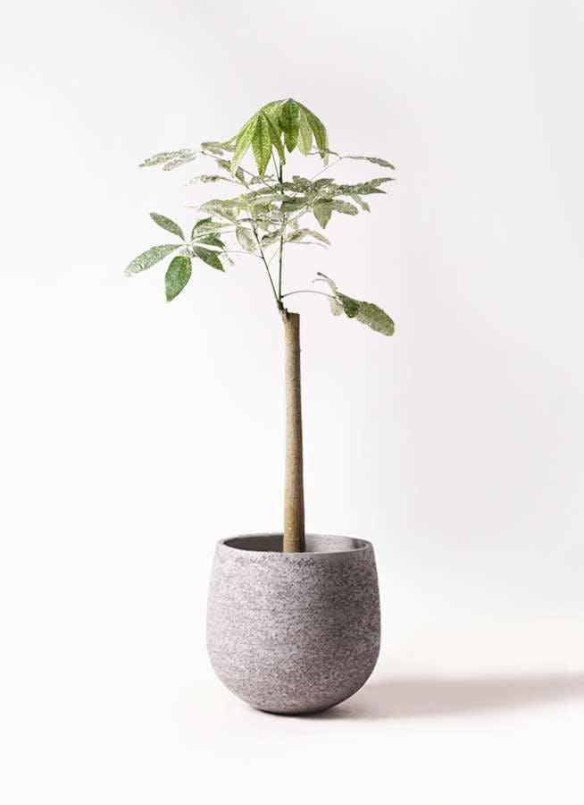 観葉植物 パキラ 8号 朴 斑入り エコストーンGray 付き