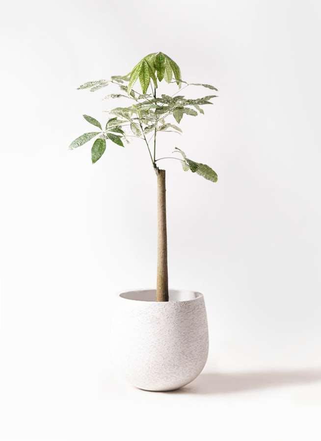 観葉植物 パキラ 8号 朴 斑入り エコストーンwhite 付き
