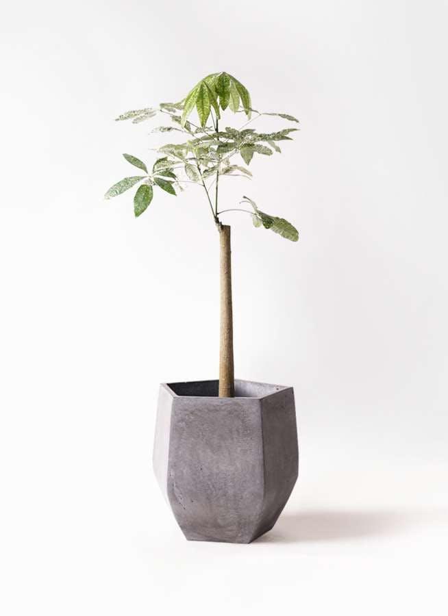 観葉植物 パキラ 8号 朴 斑入り ファイバークレイ Gray 付き