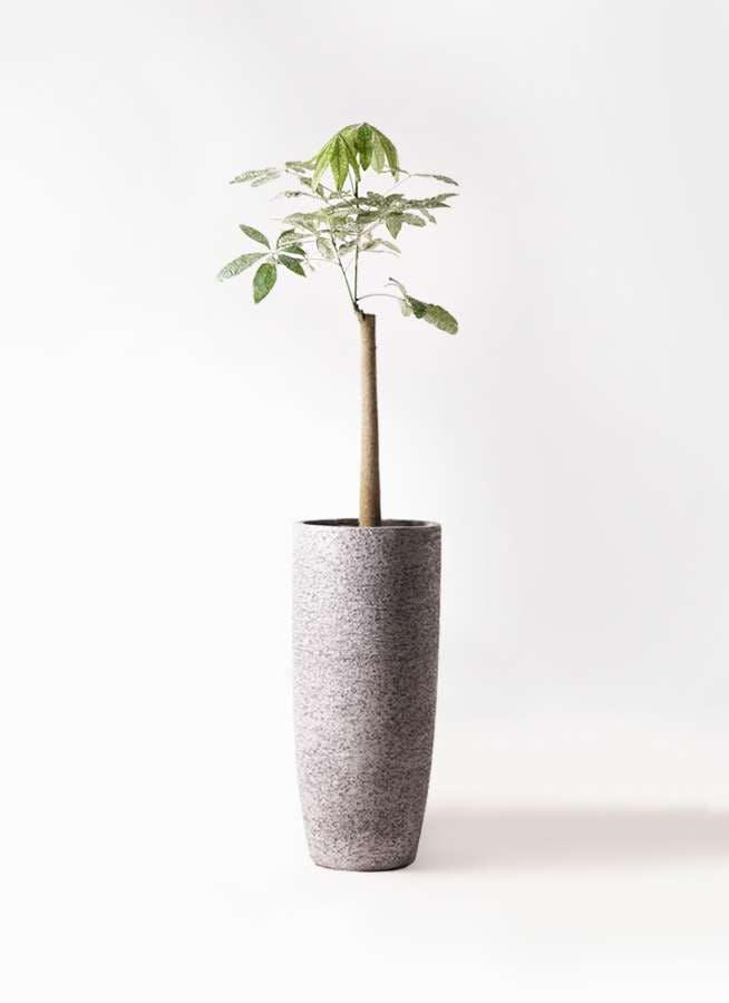 観葉植物 パキラ 8号 朴 斑入り エコストーントールタイプ Gray 付き