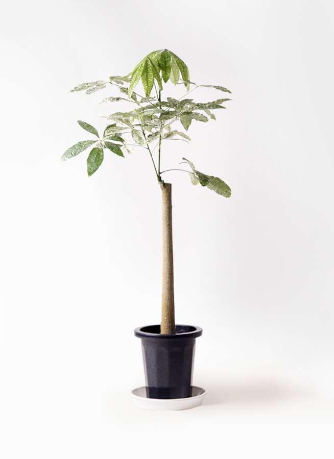 観葉植物 パキラ 8号 朴 斑入り プラスチック鉢