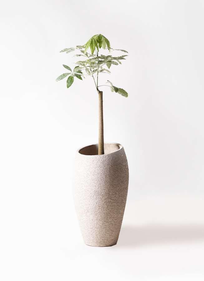 観葉植物 パキラ 8号 朴 斑入り エコストーントールタイプ Light Gray 付き