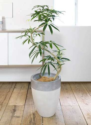 観葉植物 シェフレラ アンガスティフォリア 8号 曲り ファイバーストーン カプリ サンディホワイト 付き