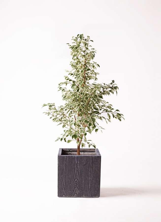 観葉植物 フィカス ベンジャミン 8号 スターライト ベータ キューブプランター ウッド 茶 付き