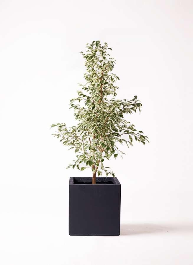観葉植物 フィカス ベンジャミン 8号 スターライト ベータ キューブプランター 黒 付き