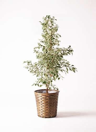 観葉植物 フィカス ベンジャミン 8号 スターライト 竹バスケット 付き