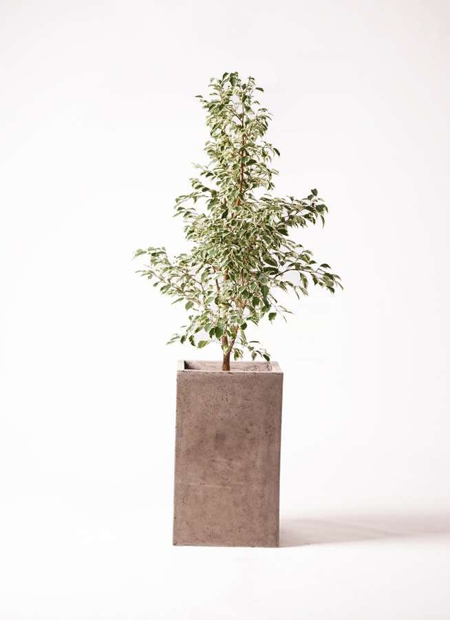 観葉植物 フィカス ベンジャミン 8号 スターライト セドナロング グレイ 付き