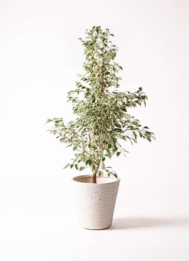 観葉植物 フィカス ベンジャミン 8号 スターライト ビアスソリッド 白 付き