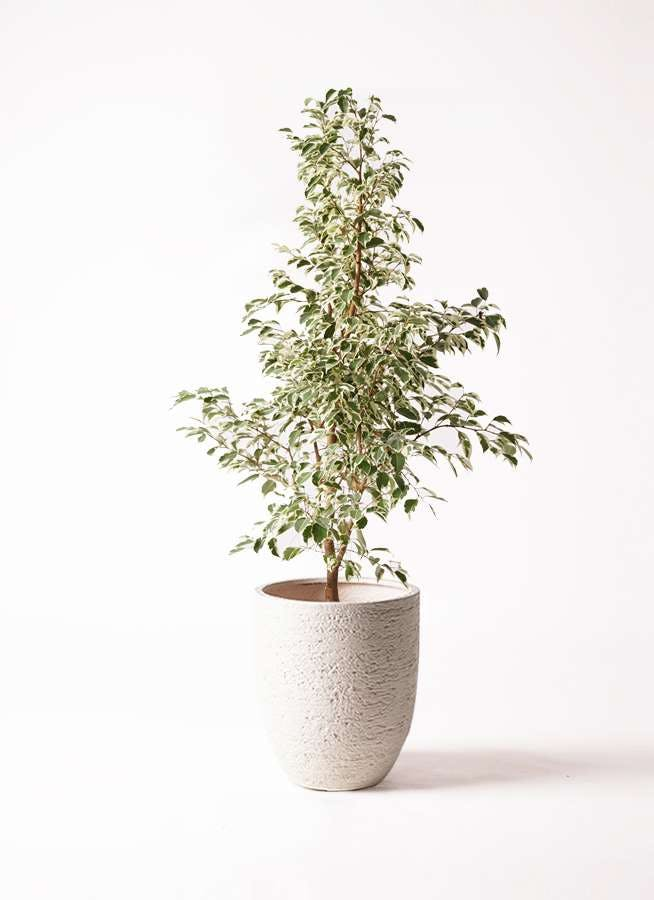 観葉植物 フィカス ベンジャミン 8号 スターライト ビアスアルトエッグ 白 付き