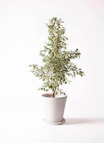 観葉植物 フィカス ベンジャミン 8号 スターライト サブリナ 白 付き