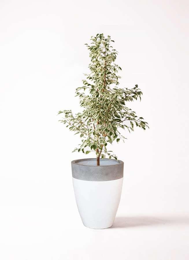 観葉植物 フィカス ベンジャミン 8号 スターライト ファイバーストーンカプリ 白 付き