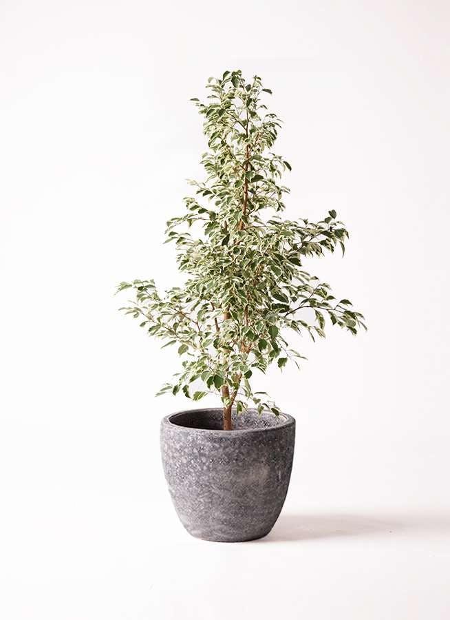 観葉植物 フィカス ベンジャミン 8号 スターライト アビスソニアミドル 灰 付き