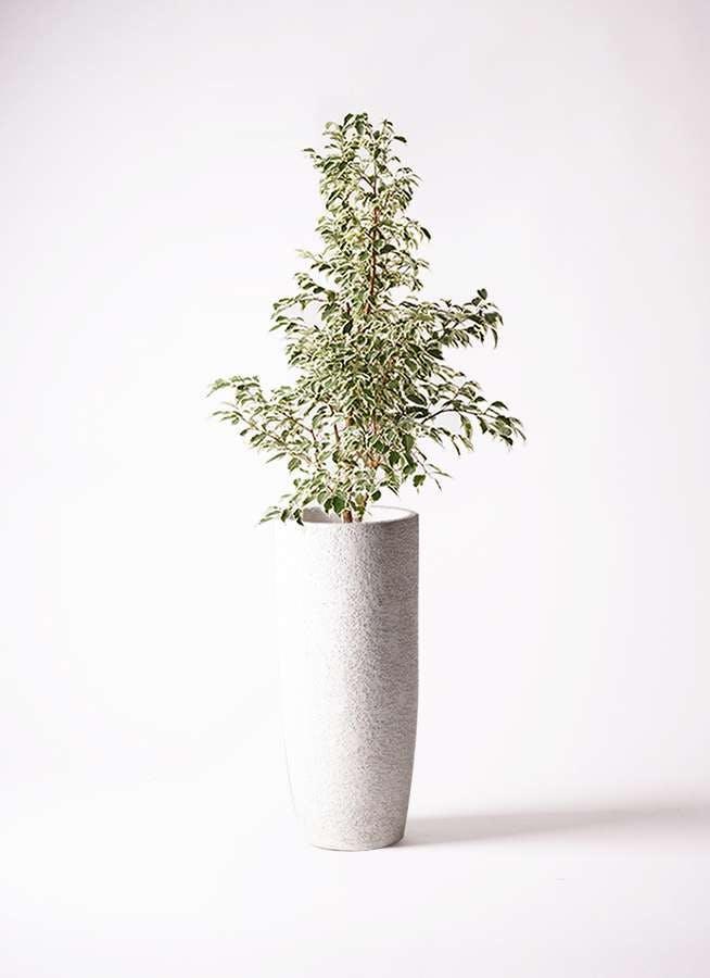 観葉植物 フィカス ベンジャミン 8号 スターライト エコストーントールタイプ white 付き