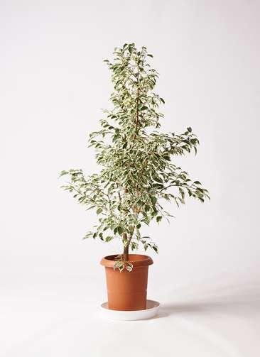 観葉植物 フィカス ベンジャミン 8号 スターライト プラスチック鉢