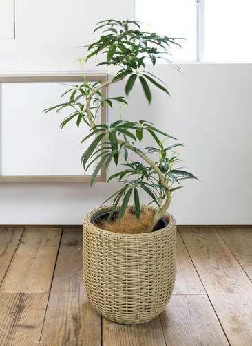 観葉植物 シェフレラ アンガスティフォリア 8号 曲り ウィッカーポット エッグ NT ベージュ 付き
