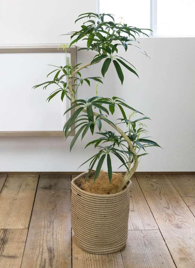 観葉植物 シェフレラ アンガスティフォリア 8号 曲り リブバスケットNatural 付き
