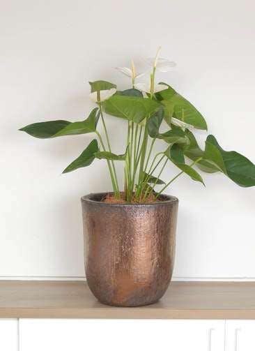 観葉植物 アンスリウム 6号 スミ ビトロ ウーヌム コッパー釉 付き