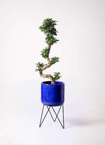 観葉植物 ガジュマル 8号 曲り ビトロ エンデカ ブルー アイアンポットスタンド ブラック 付き