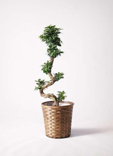 観葉植物 ガジュマル 8号 曲り 竹バスケット 付き