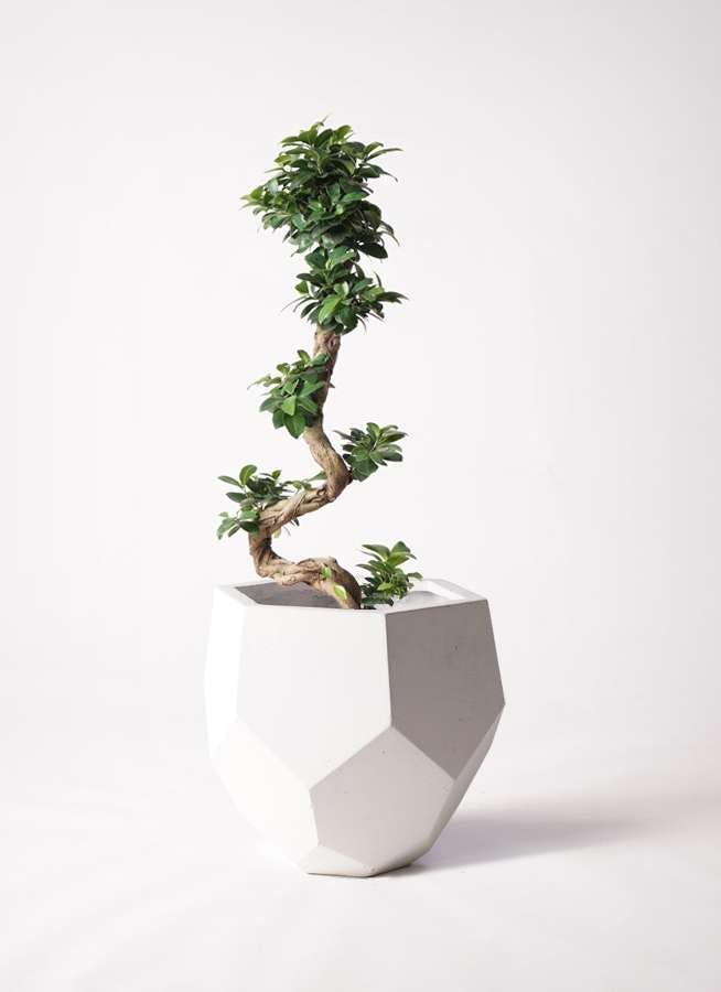 観葉植物 ガジュマル 8号 曲り ポリゴヘクサ 白 付き