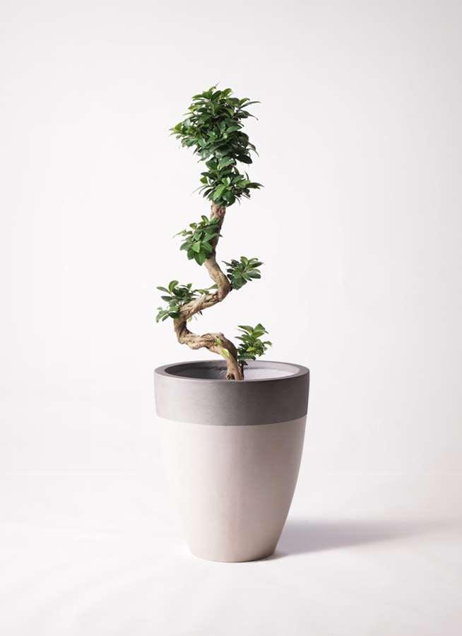 観葉植物 ガジュマル 8号 曲り ファイバーストーンカプリ サンディホワイト 付き