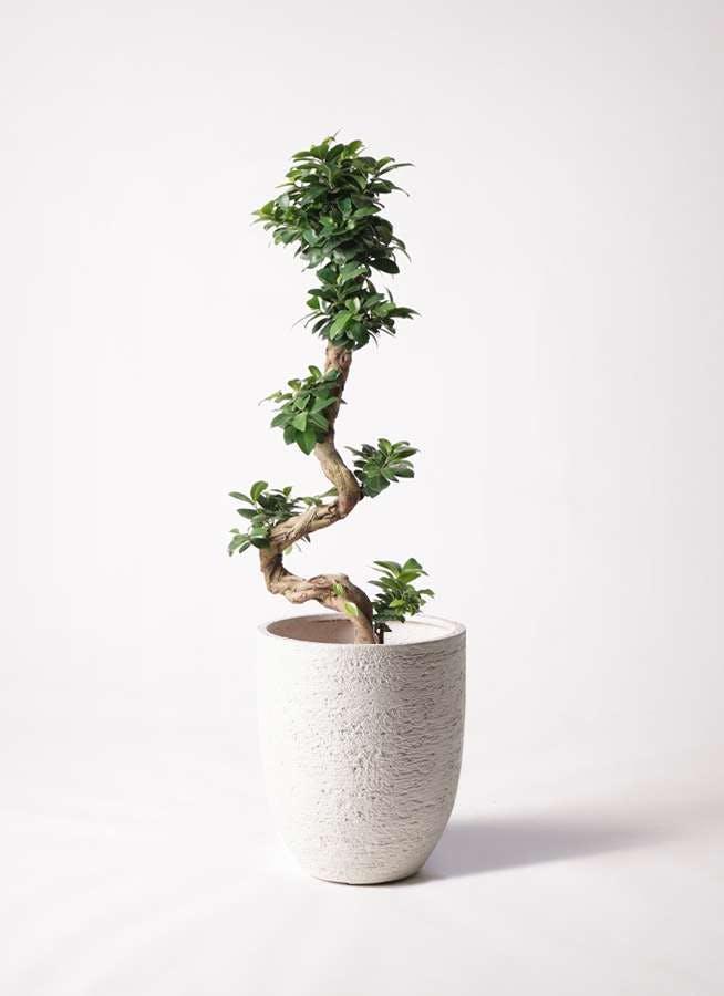 観葉植物 ガジュマル 8号 曲り ビアスアルトエッグ 白 付き