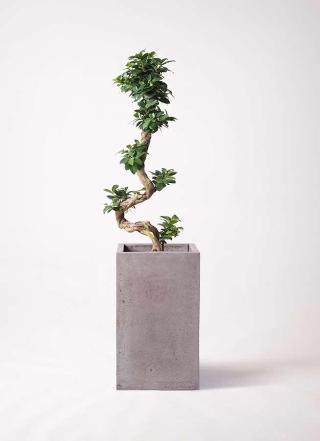 観葉植物 ガジュマル 8号 曲り セドナロング グレイ 付き