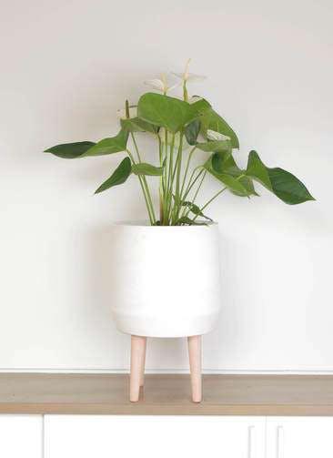 観葉植物 アンスリウム 6号 スミ ファイバークレイ white 付き