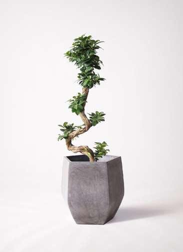 観葉植物 ガジュマル 8号 曲り ファイバークレイ Gray 付き