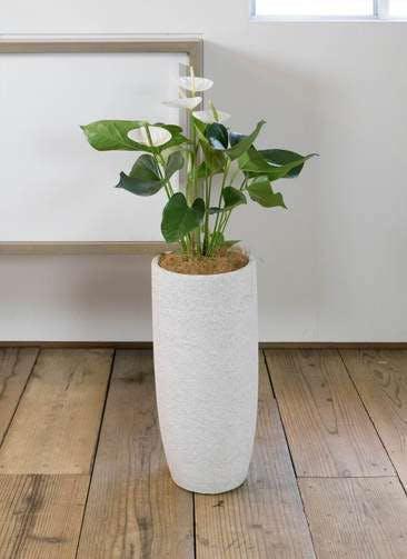 観葉植物 アンスリウム 6号 スミ エコストーントールタイプ white 付き