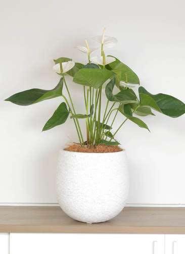 観葉植物 アンスリウム 6号 スミ エコストーンwhite 付き