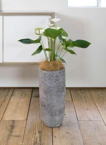 観葉植物 アンスリウム 6号 スミ エコストーントールタイプ Gray 付き