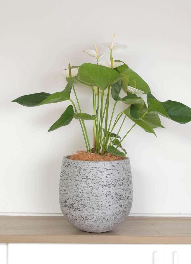 観葉植物 アンスリウム 6号 ホワイト エコストーンGray 付き