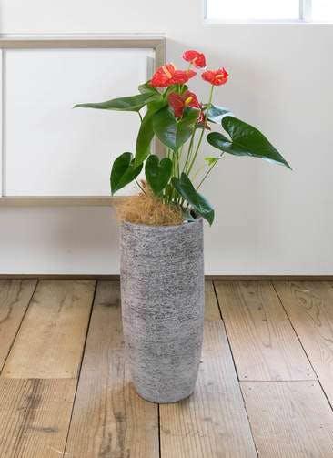 観葉植物 アンスリウム 6号 ダコタ エコストーントールタイプ Gray 付き