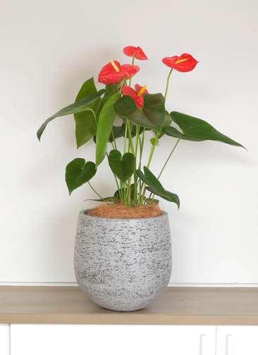 観葉植物 アンスリウム 6号 ダコタ エコストーンGray 付き