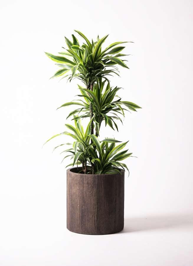 観葉植物 ドラセナ ワーネッキー レモンライム 10号 アルファシリンダープランター 付き