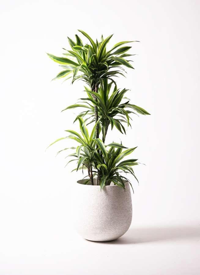 観葉植物 ドラセナ ワーネッキー レモンライム 10号 エコストーンwhite 付き