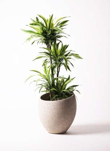 観葉植物 ドラセナ ワーネッキー レモンライム 10号 エコストーンLight Gray 付き