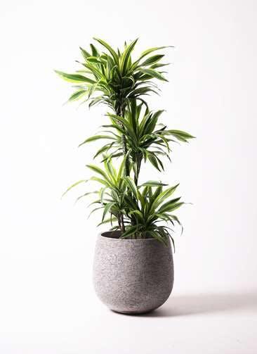 観葉植物 ドラセナ ワーネッキー レモンライム 10号 エコストーンGray 付き